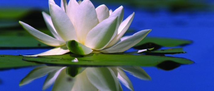 Water lilly time